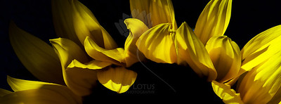 Radiance  Flower pictured :: Sunflower  Flower provided by :: Abloom  031614_003878 ICC sRGB 10x27 pic