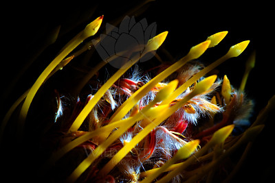 Spears From The Sun  Flower pictured :: Protea  Flower provided by :: Babylon Floral  100712_003259 ICC sRGB 16in x 24in pic