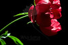 Flower pictured :: Peony<br /> <br /> Flower provided by :: Babylon Floral<br /> <br /> 062312_012262 ICC sRGB 16in x 24in pic