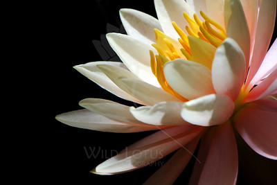 Citrus Kiss  Flower pictured :: Waterlily  Flower provided by :: the lime kiddie pool in the backyard  083113_000811 ICC sRGB 16x24 pic