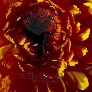 Supernova Blackhole  Flower pictured :: Marigold  Flower provided by :: Tagawa Gardens  041115_008208 ICC sRGB 16x16 pic