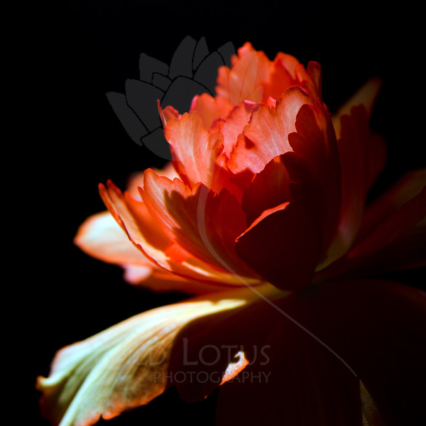 Flower pictured :: Begonia<br /> <br /> Flower provided by :: Tagawa Gardens<br /> <br /> 061012_011300 ICC sRGB 16in x 16in pic