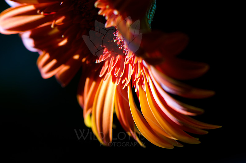 Phoenix Wings<br /> <br /> Flower pictured :: Gerbera Daisy<br /> <br /> Flower provided by :: Abloom<br /> <br /> 060412_010590 ICC sRGB 16in x 24in pic