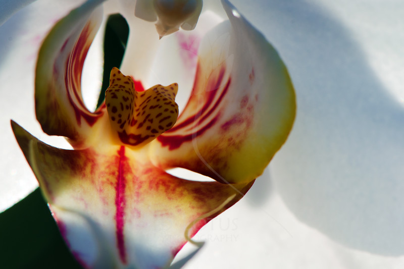 Jonah  Flower pictured :: Moth Orchid  Flower provided by :: Tagawa Gardens  030914_003840 ICC sRGB 16x24 pic