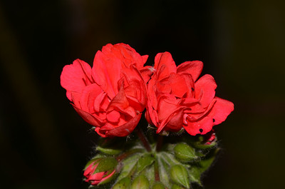 Geranium from Wooli.
