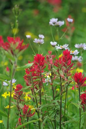 Flowers of Mount Revelstoke National Park