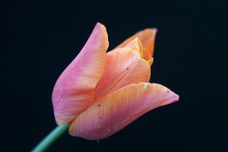 Pink Tulip on Black (1 of 1)