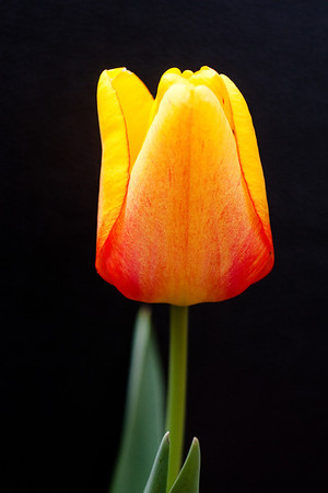 Yellow Tulip on Black (1 of 4)