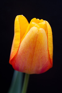Yellow Tulip on Black (3 of 4)