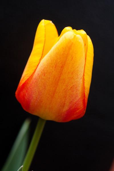 Yellow Tulip on Black (2 of 4)