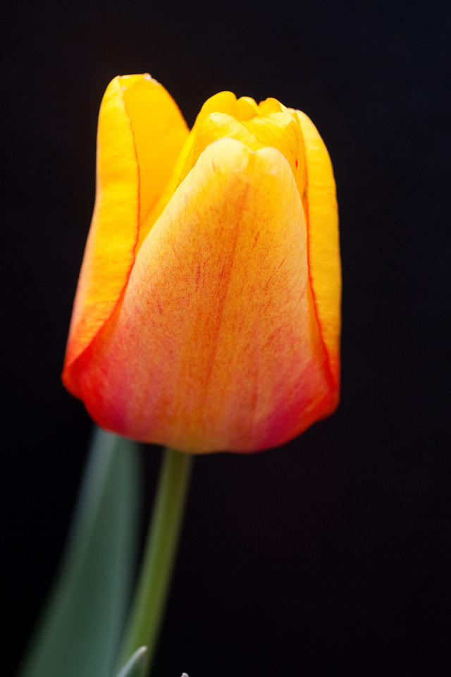 Yellow Tulip on Black (4 of 4)