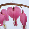 Bleeding Hearts on White (2 of 2)