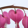 Bleeding Hearts on White (1 of 2)