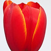 Red-Orange Tulip on White-1