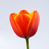 Orange Tulip on White (1 of 1)