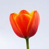 Orange Tulip on White (1 of 1)