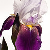 Iris -1