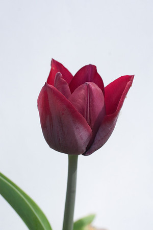 Red Tulip-1