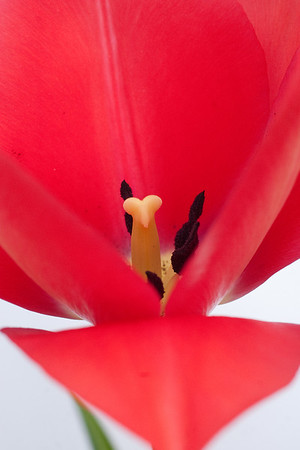 Red Tulip on White (2 of 3)