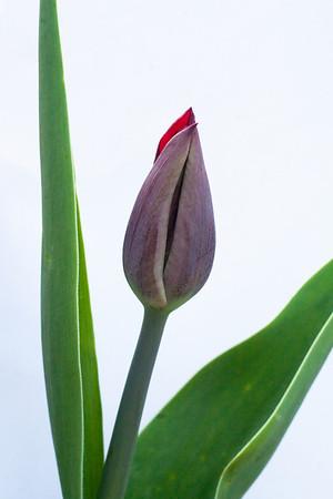 Red Tulip-2