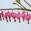 Bleeding Hearts on White