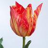 Red-Yelow Tulip on White-1