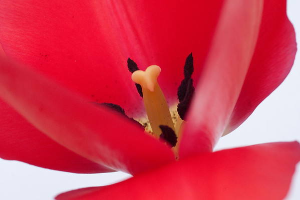 Red Tulip on White (1 of 3)