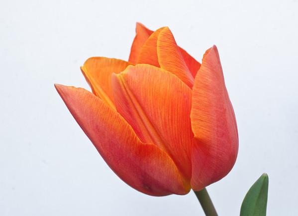 Orange Tulip on White-1