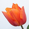 Orange Tulip on White-1