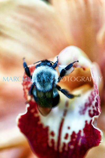 Stop & smell the Carpinteria Sunrise Orchid (NYBG- Fri 3/23/12)