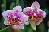 Xen Pearl x Jin Proincess orchid (Orchid Show @ NYBG- Wed 3 17 10)