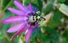 Passion Flower (Bermuda Botanical Gardens- Fri 10 9 09)