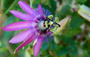 Passion Flower (Bermuda Botanical Gardens- Fri 10 9 09)