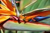 Bird of Paradise (Bermuda Botanical Gardens- Fri 10 9 09)
