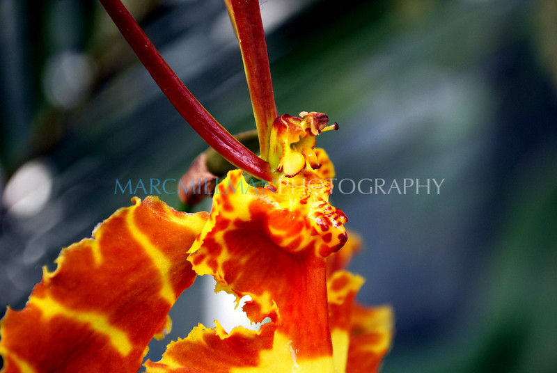 Psychopsis Kalihi Butterfly Orchid (NYBG- Fri 3 6 09)