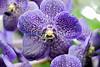 Vanda Gypsy's Rocket rainbow orchid (NYBG- Fri 4 10 09)