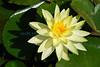Nymphaea alba water Lily (Bermuda Botanical Gardens- Fri 10 9 09)