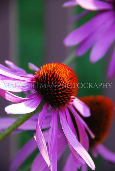 Echinacea purpurea5 (Fri 7/24/09)
