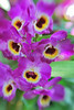 Red Emperor Prince orchid (Orchid Show @ NYBG- Wed 3 17 10)
