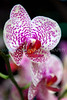 Long Pride Fancy orchid (Orchid Show @ NYBG- Wed 3 17 10)
