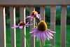 Echinacea purpurea2 (Fri 7/24/09)