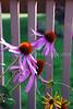 Echinacea purpurea4 (Fri 7/24/09)