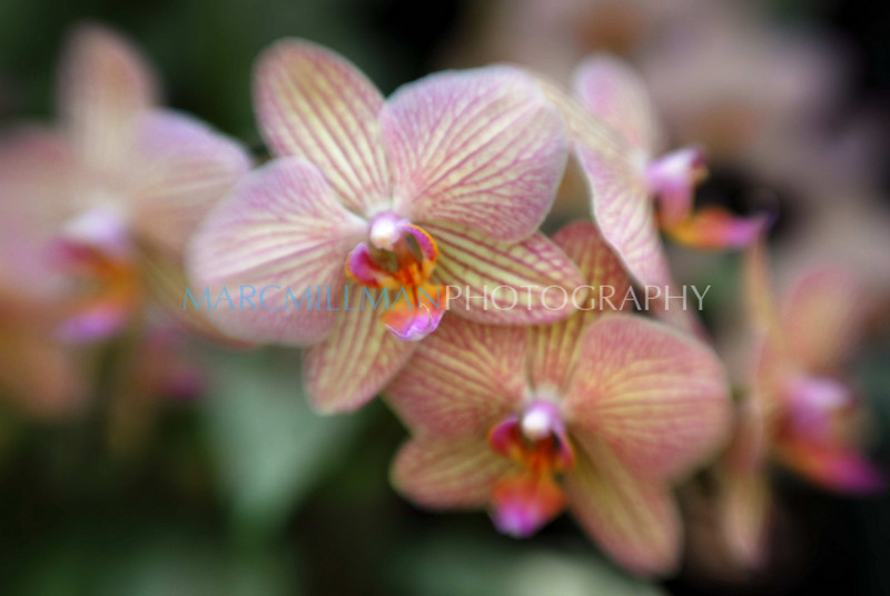 Masterpiece Moth orchid (Orchid Show @ NYBG- Wed 3 17 10)