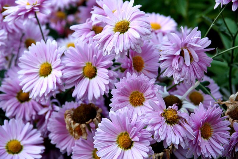 Chyrsanthemums