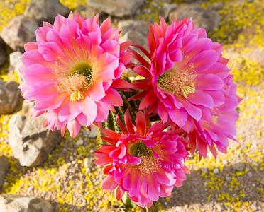 Cactus flowers_large1738