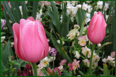 F-H-0199-10 Tulips Together