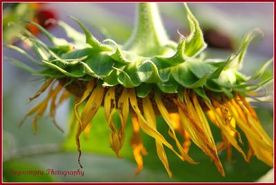August 10, 2011. A sunflower that's seen better days.
