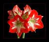 Grand Trumpet Amaryllis ltbrgt IMG_1983w (27064275)