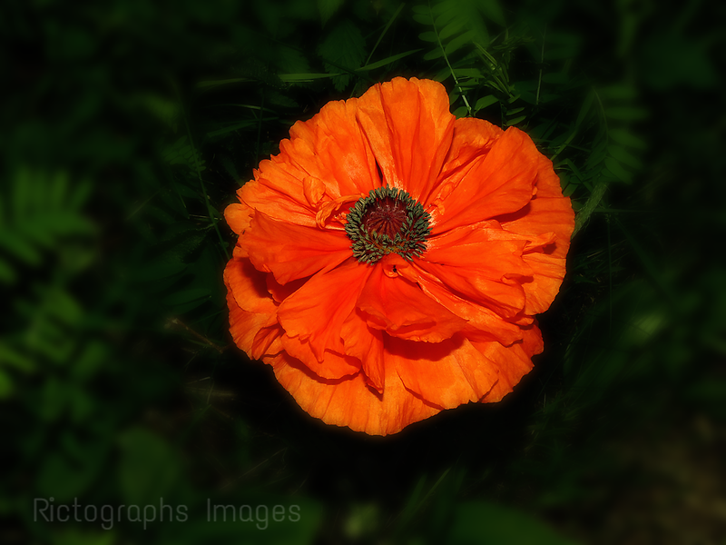Beautiful Orange Poppy