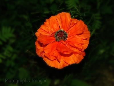 Beautiful Orange Poppy